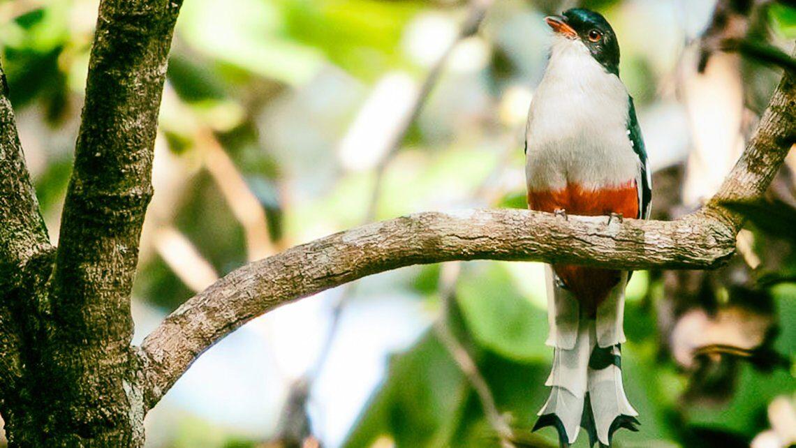 aves endemicas de Cuba